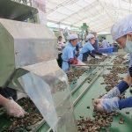 quy trình sản xuất hạt điều